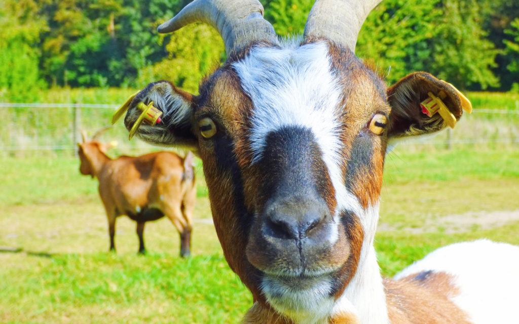 mleko kozie w serowarstwie, sery z mleka koziego