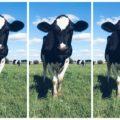 Mleko w serowarstwie - skład chemiczny i właściwości świeżego mleka krowiego