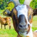 Mleko kozie w serowarstwie - skład, wartości odżywcze i właściwości