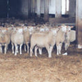 Mleko owcze – zapomniane i niedoceniane